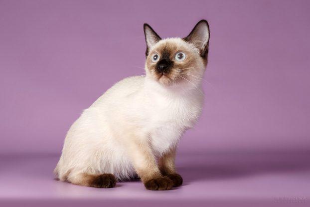 Декоративные домашние животные - фото кошки скиф-той-боб