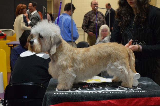 Порода собак с короткими лапами - Денди-динмонт-терьер