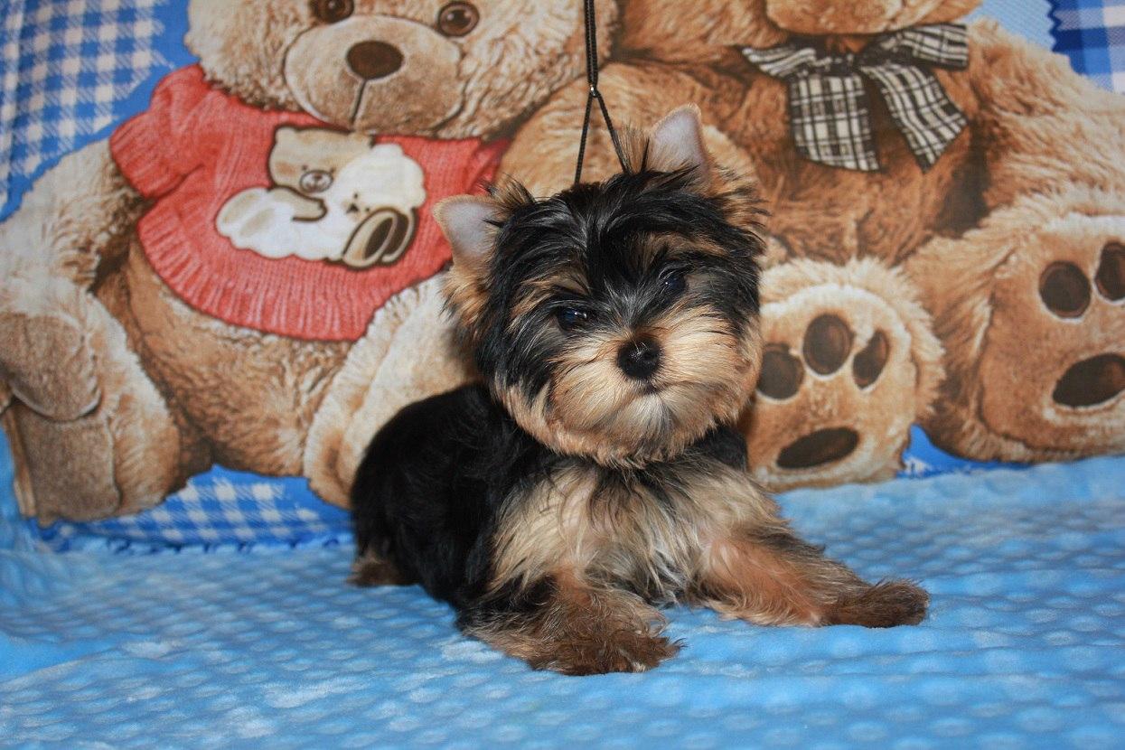Стрижка щенка йорка фото
