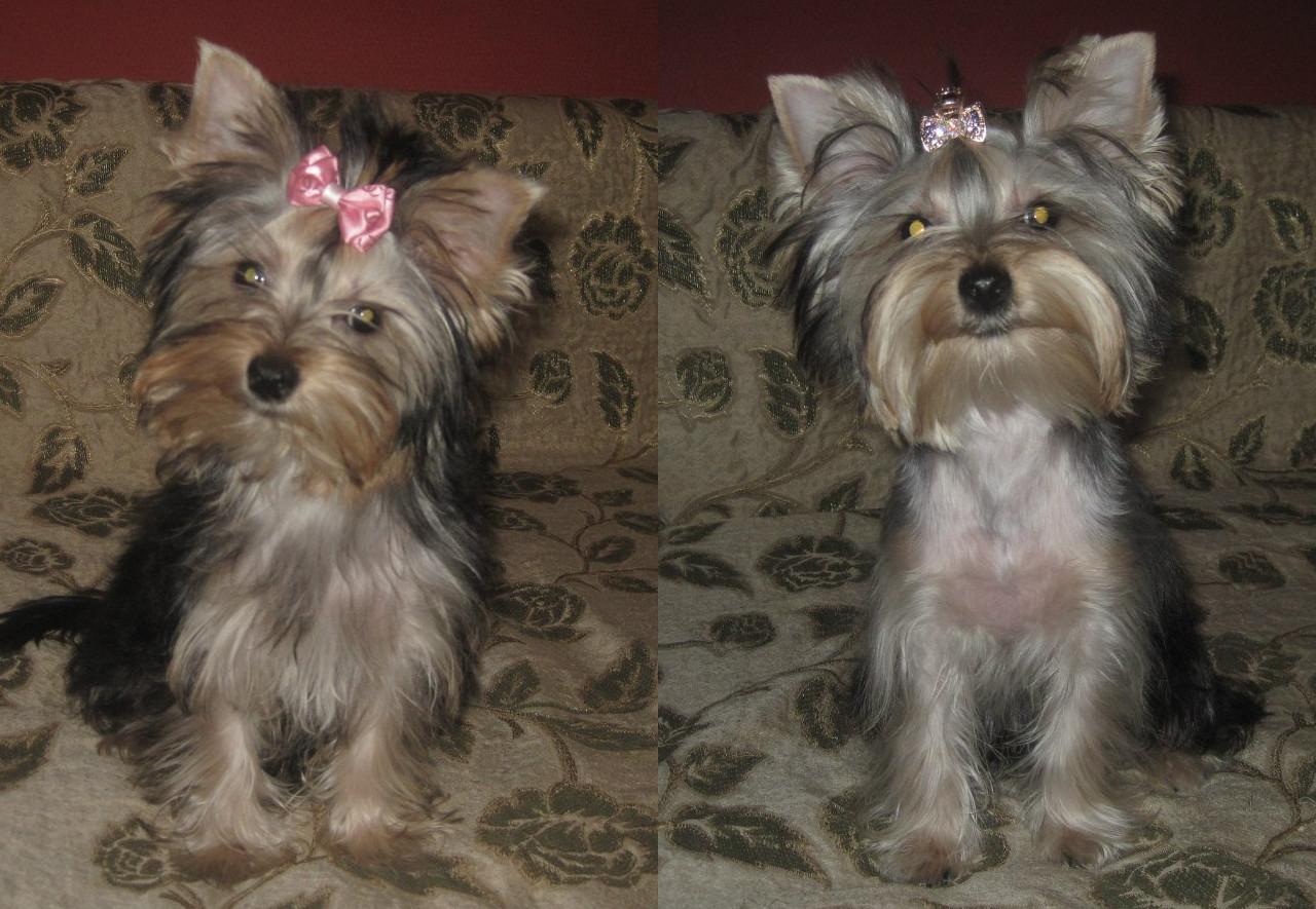 Стрижки йорка - фото до и после