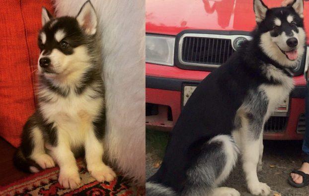 Фото щенка хаски в 1 и 7 месяцев