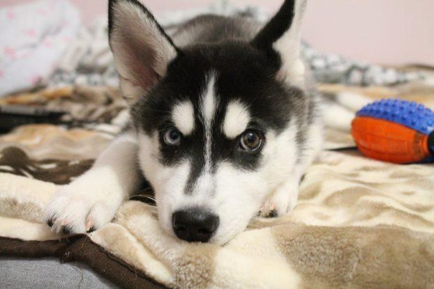 Фото 3 месячнего щенка хаски