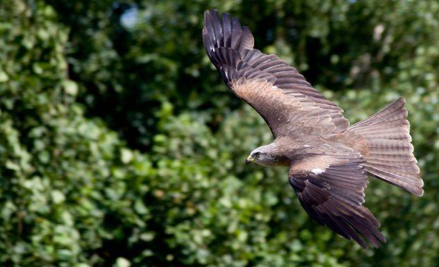 Хищные птицы России - Чёрный коршун