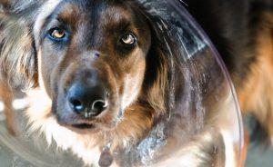 Cтафилококк у собак - симптомы и лечение