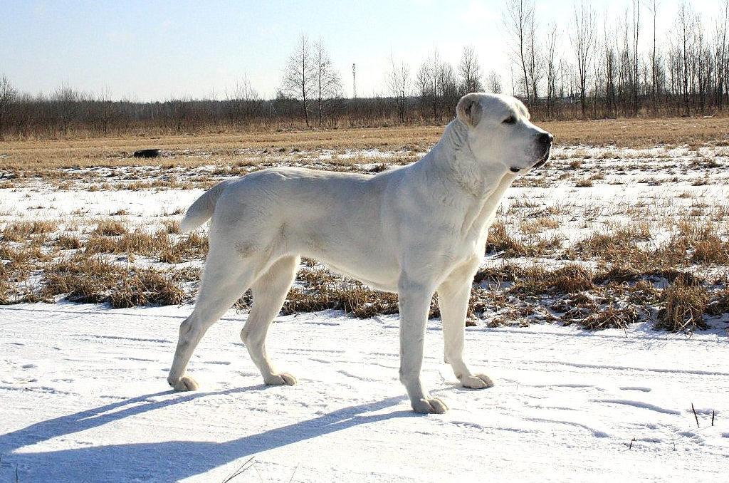 характеристики собаки алабай