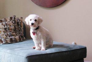 Белая кудрявая собака - порода Бишон фризе