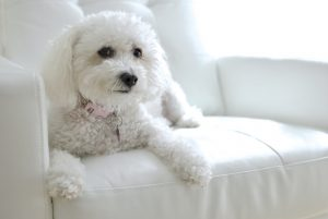 Белая кудрявая собака - фото Бишон фризе