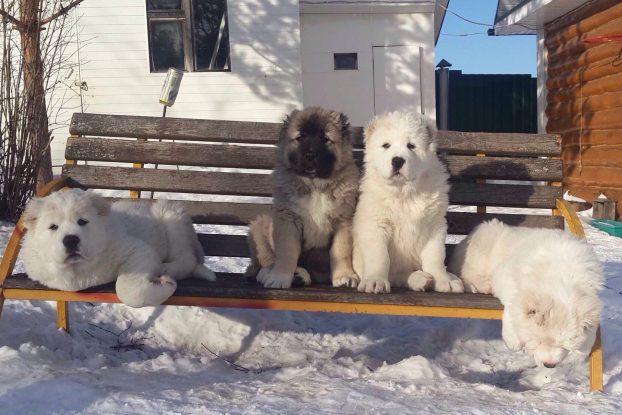 Белые щенки кавказской овчарки фото