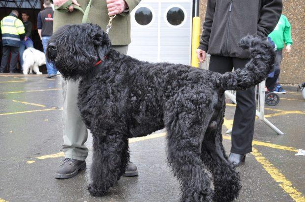 Большая черная кудрявая собака фото