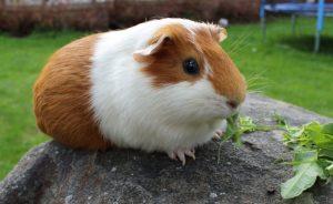Морские свинки - уход и содержание в домашних условиях