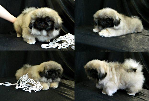 Пекинес фото щенка в 3 месяца