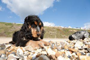 Порода собаки с кудрявыми ушами