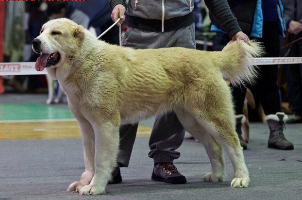 Порода собак алабай - характеристика и фото