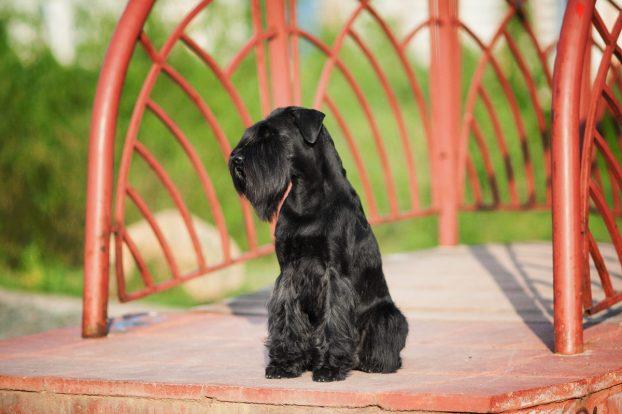Порода собак миттельшнауцер фото