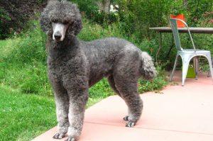 Породы собак с кудрявой шерстью - фото Пуделя