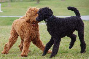 Рыжие кудрявые собаки и черные - фото пуделей