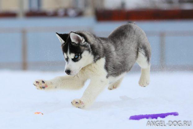 Сколько стоит хаски щенок в России