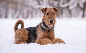 Собака из электроника - порода эрдельтерьер