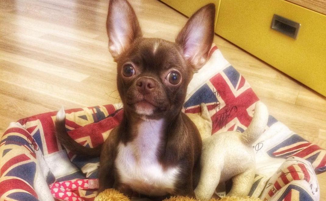 собака породы чихуахуа фото щенок