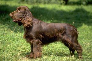 Собака с длинными кудрявыми ушами