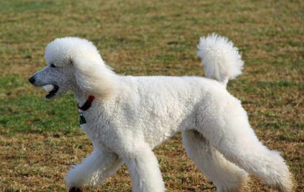 Собака с кудрявой шерстью - фото пуделя
