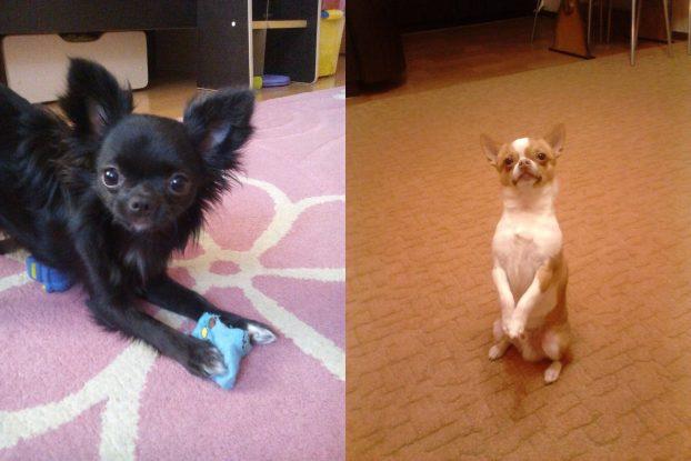 Собаки чихуахуа фото щенки