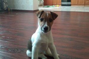 Фокстерьер гладкошерстный - фото щенка