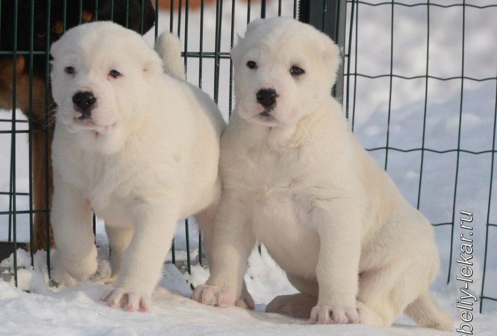 кавказец фото собаки