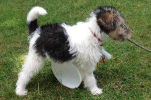 Фото щенка жесткошерстного фокстерьера