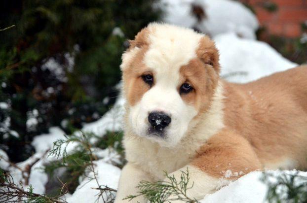 Фото щенка кавказкой овчарки в 2 месяца