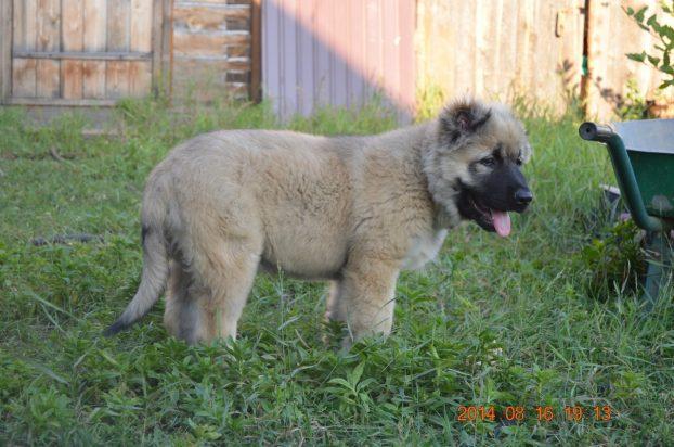 Фото щенка кавказской овчарки 3 месяца