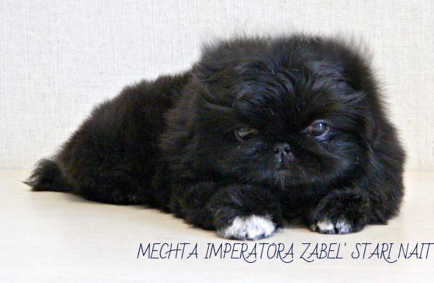 Фото щенка пекинеса в 2 месяца