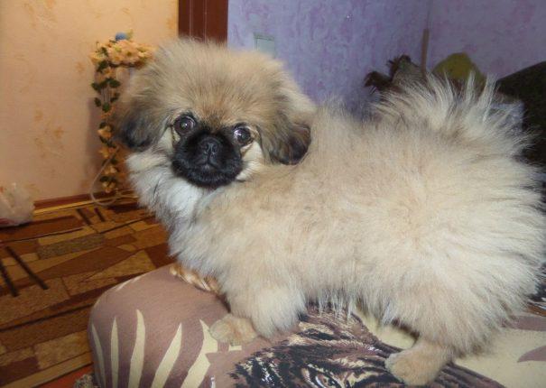 Фото щенка пекинеса