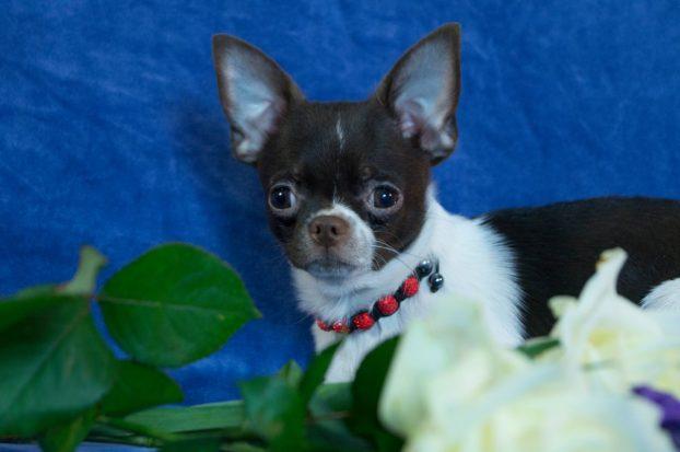 Фото щенка чихуахуа 5 месяцев