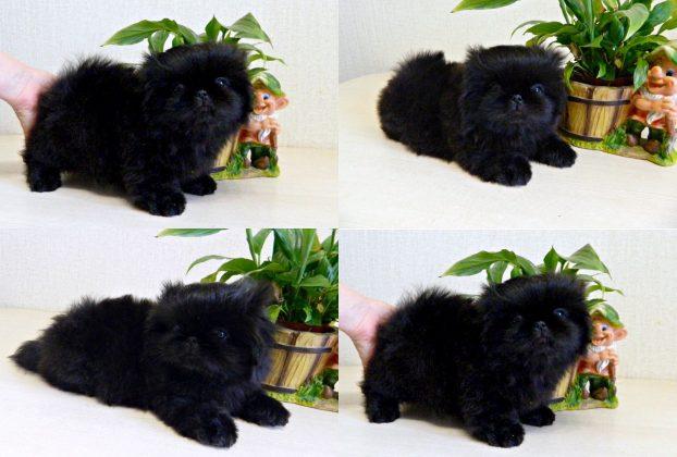 Фото щенков пекинеса в 1 месяц
