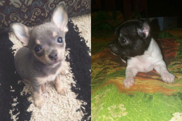 Фото щенков чихуахуа в 1 месяц