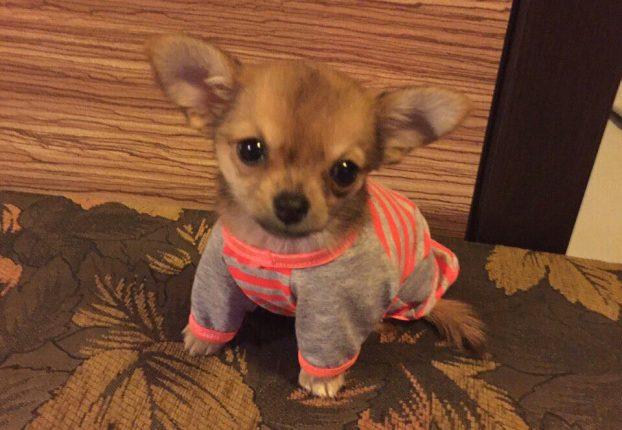 Фото щенков чихуахуа в 3 месяца