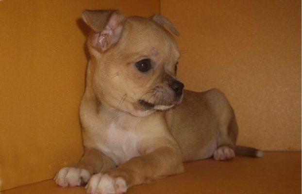 Фото щенков чихуахуа рыжий