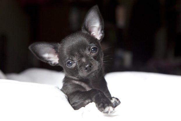 Черные щенки чихуахуа фото