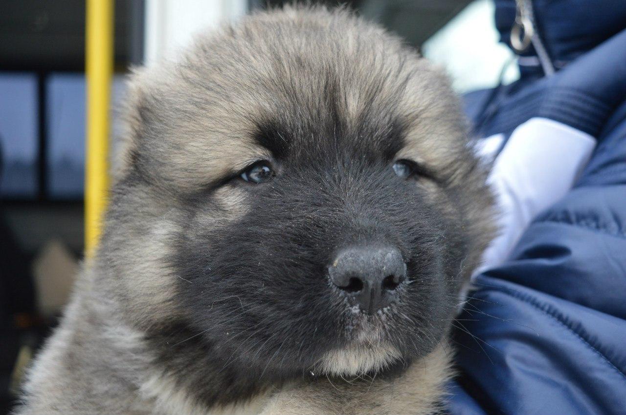 щенок овчарки фото 1 месяц