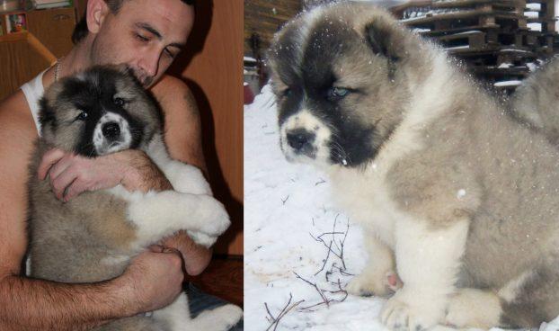Щенки кавказской овчарки фото 1 месяц