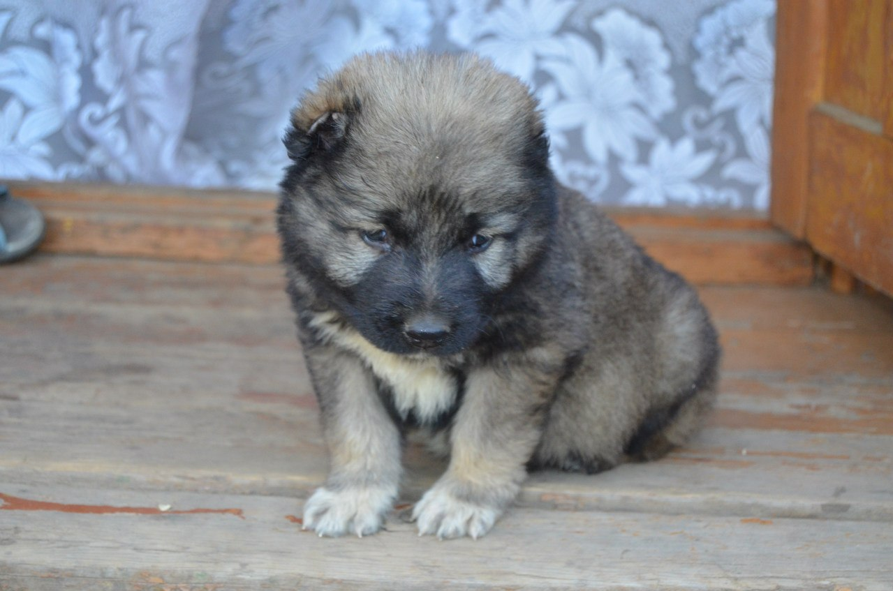 фото кавказских овчарок щенков
