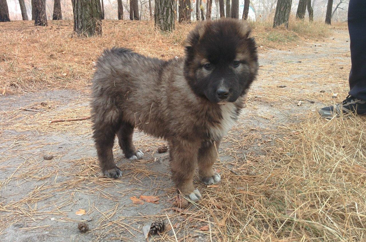 кавказская овчарка фото щенков и взрослых
