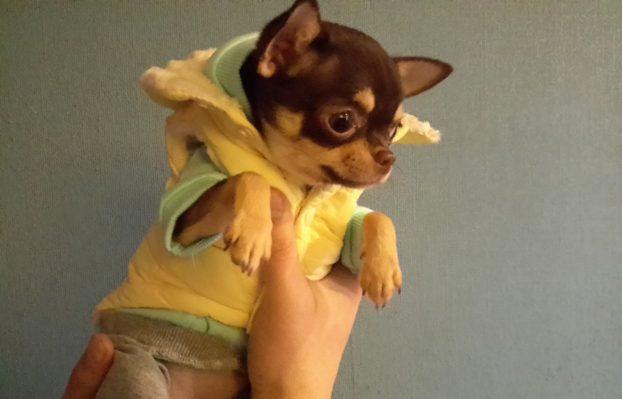 Щенок чихуахуа в 6 месяцев фото