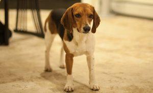 Собака Джона Уика - порода Бигль