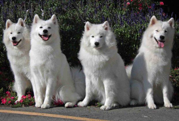 Белая собака средних размеров - самоед