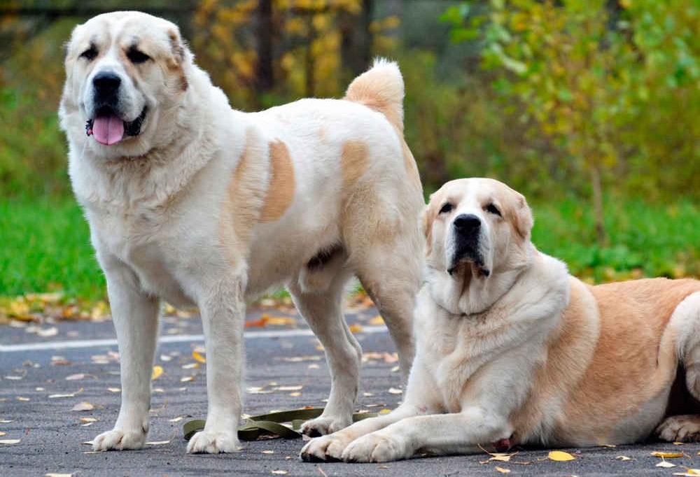 большая порода собаки