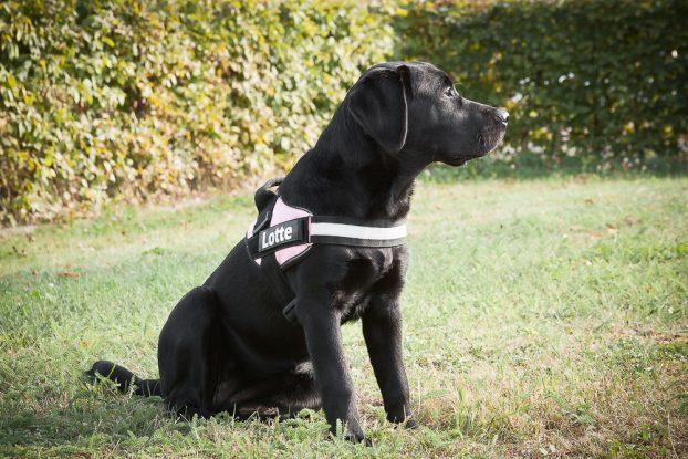 Лабрадор ретривер - порода собак средних размеров