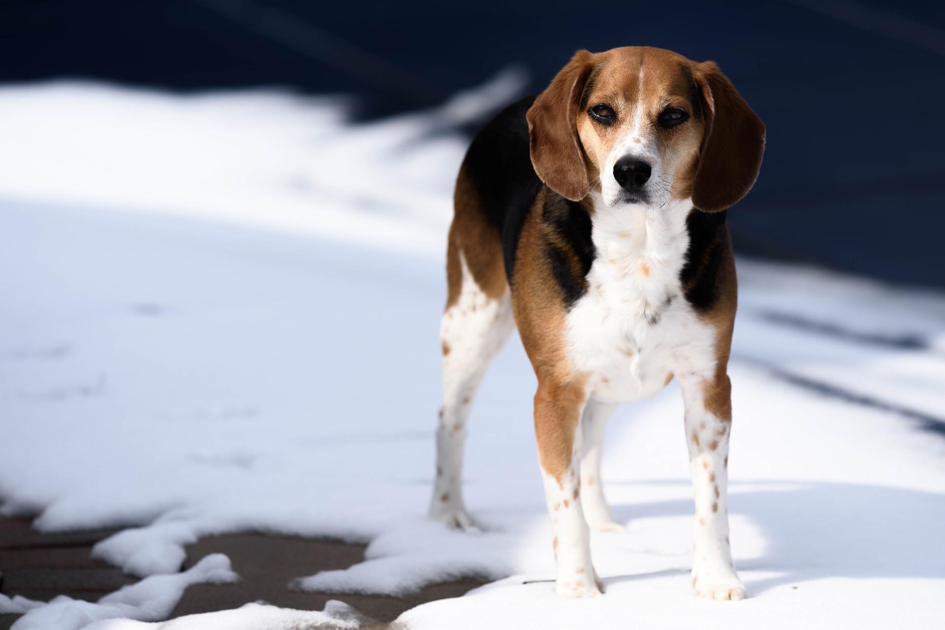 породы собак до 50 см