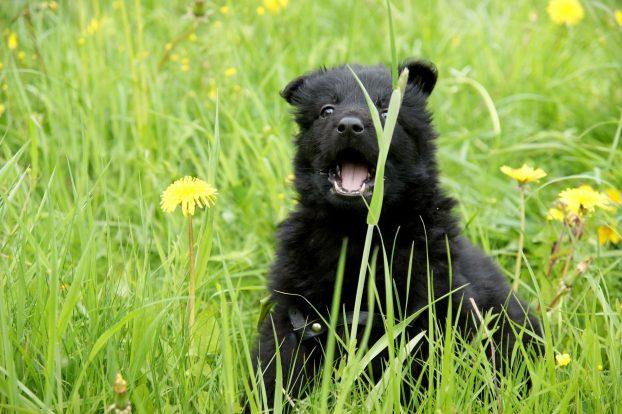 Маленький щенок немейкой овчарки черного окраса